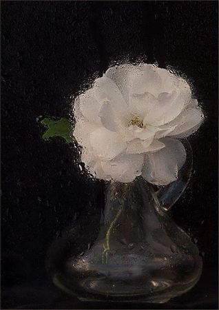 rainy day rose  carol