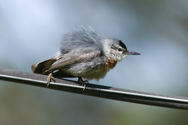 Krupper's Nuthatch