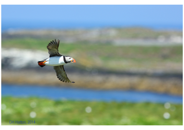 Betwixt Land and Sea (Puffin, Farne Islands)
