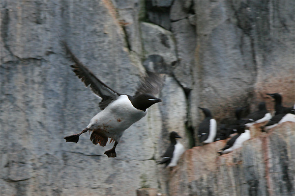 Brunnich's (Thick-billed) Guillemot, Alkefjellet