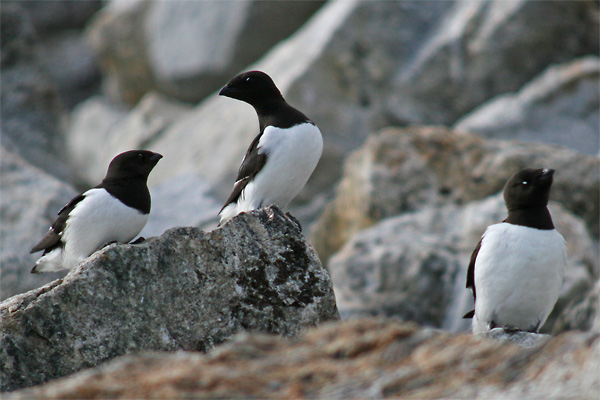 Little auks on breeding scree, Fugelsangen