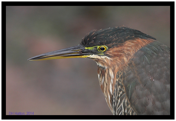 Purple Green (Green Heron, Hythe, Kent)
