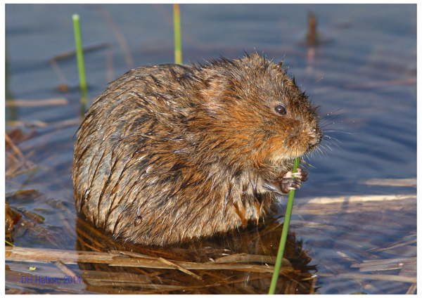 Ratty by Hatty (Water Vole, Minsmere)