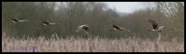 Reedbed Rooster (Hen Harrier, Fowlmere RSPB)