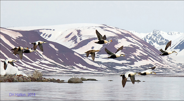 Regal Arctic (King and Common Eiders, Spitsbergen)