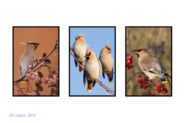 We Threee Kings (Waxwings, Royston)