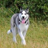Husky_walks_through_long_grass