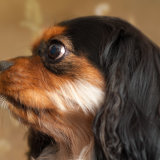 Cavalier_King_Charles_close_up