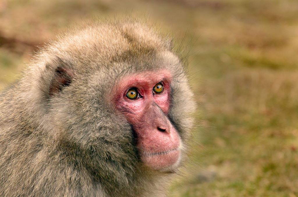 Chinese macaque