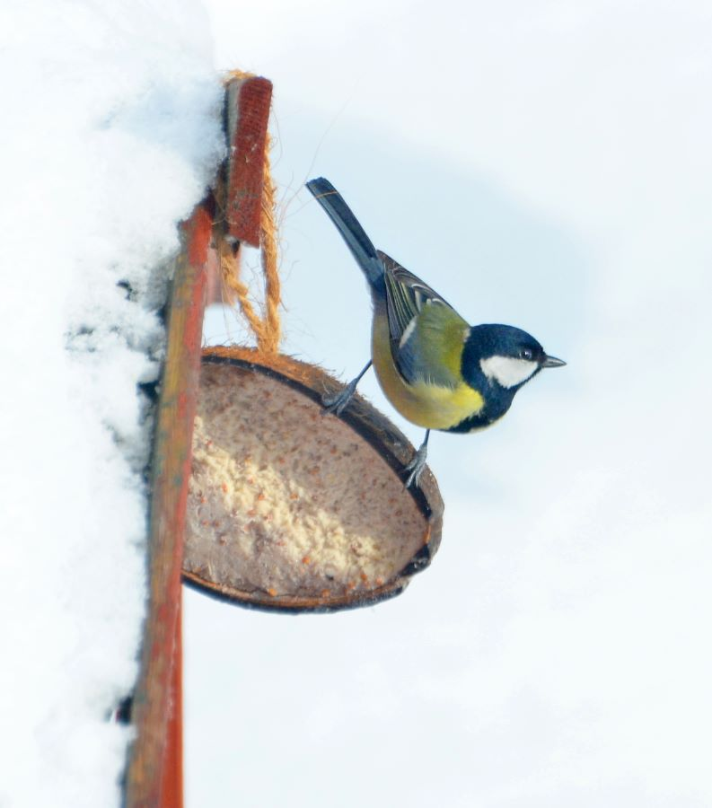 Great Tit on Coconut