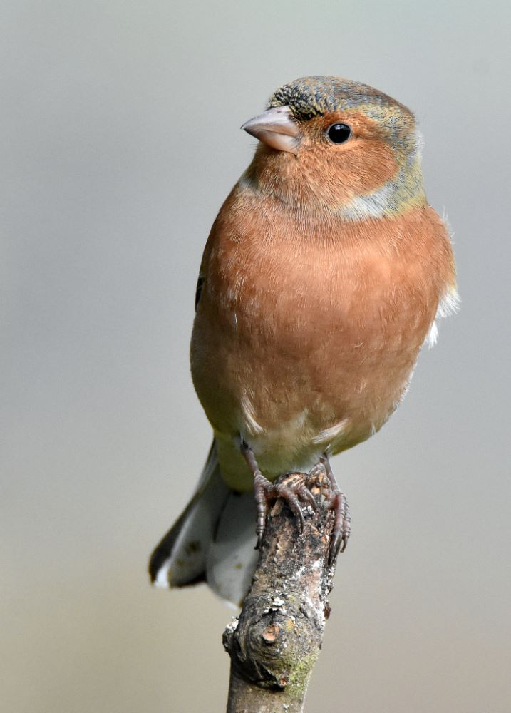 Chaffinch on Top
