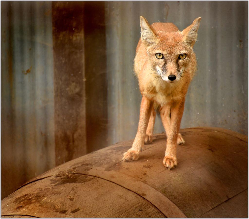 Fox on a Barrel