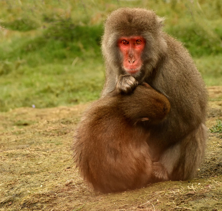Japanese Macaque Mother