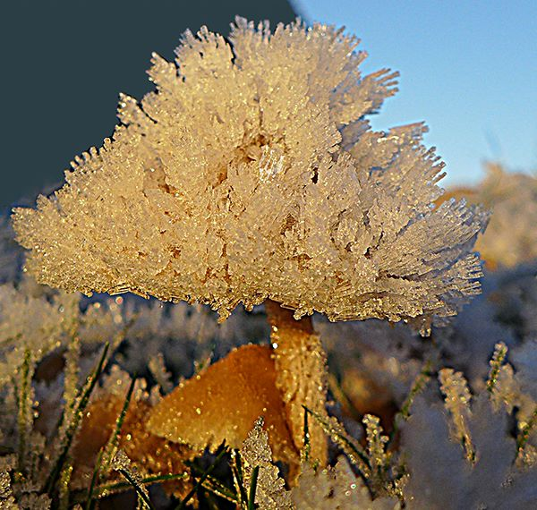 Wild Frosted Mushroom