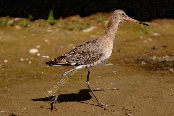 Black-Tailed-Godwit.