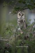 Long Eared Owl 1