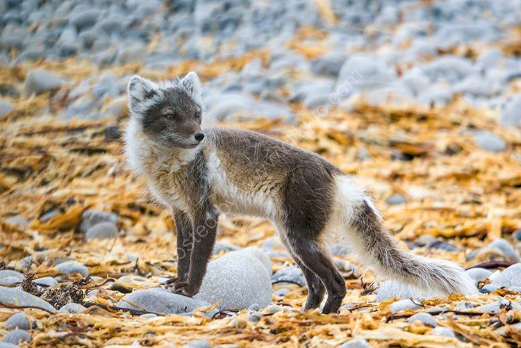 Arctic Fox I