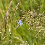 Blue Butterfly on grass