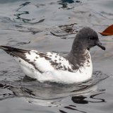 Cape Petrel on water