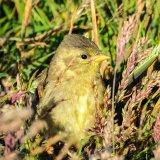 Falkland Island Pipitt