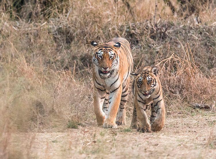 Female Tiger and Male Cub