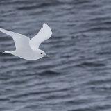 Ivory Gull II