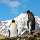 King Penguin V