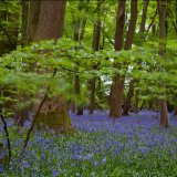 Long Exposure Blue Bells