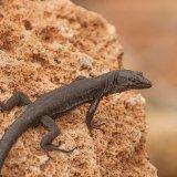 Liltford's Wall Lizard (Dark Form)
