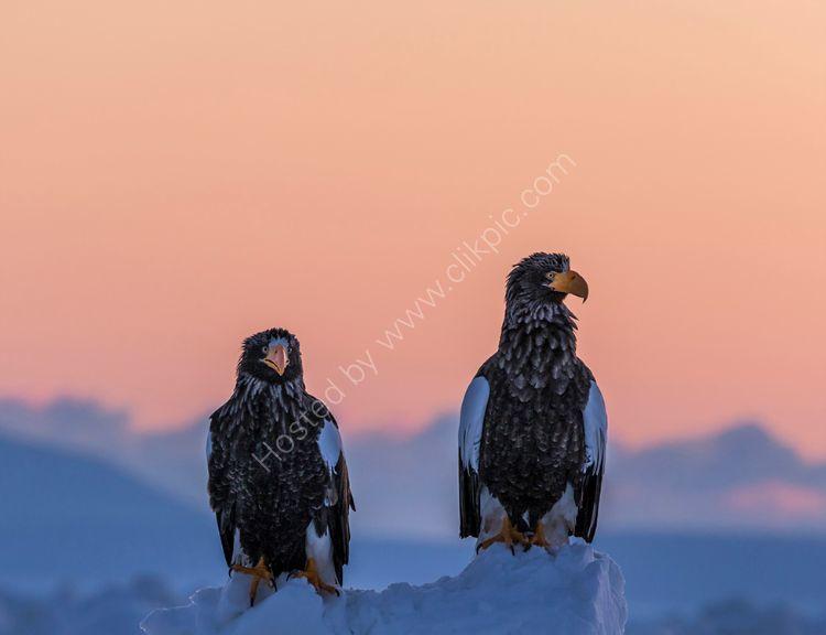 Steller Sea Eagles