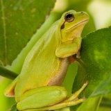 Stripless Tree Frog