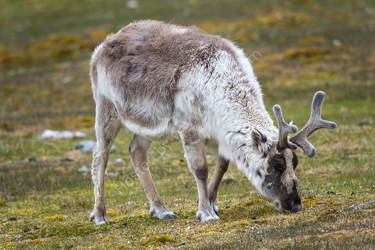 Svalbard Reindeer III