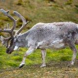 Svalbard Reindeer I