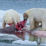 Walrus Kill