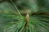 Pine Shoot