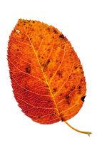 Amelanchier leaf