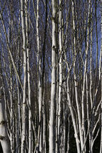 Betula jacquemontii trunks in sunlight