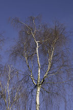Betula pendula trunks