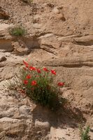 Poppies on the cliffs at Covehithe