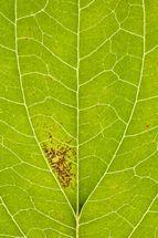 Dogwood leaf map