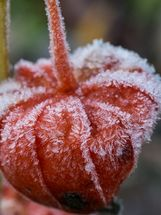 Frosted Physalis pod
