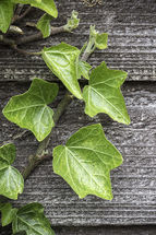Ivy shoot