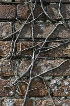 Ivy stems