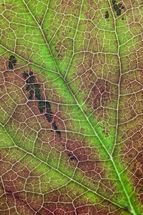 Paeonia leaf map