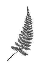Polystichum polyblepharum leaf
