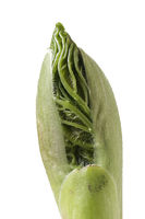 Young Acer bud