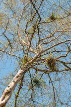Silver birch & mistletoe
