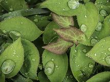 Raindrops on Epimedium foliage