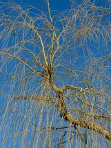 Weeping willow against winter sky