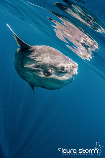 Sunfish and the Atlantic Blue